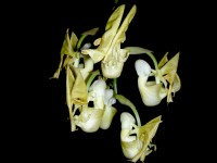 Coryanthes panamensis Henry Heder